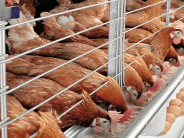 Nigeria's poultry farmers warn sector may shut down by January