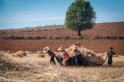Pindaya - Travail dans les champs