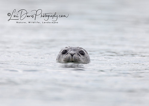Oscar the Harbor Seal by Lori Davis