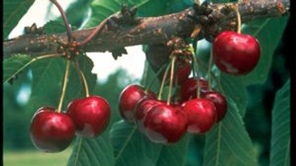 Cherry - Carmine Jewel Sour