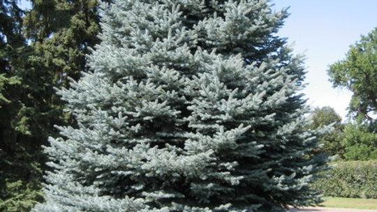 Spruce- Colorado