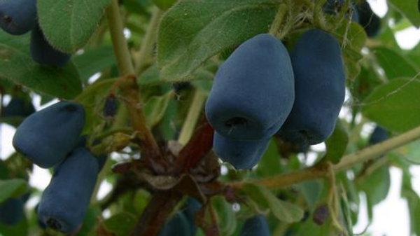 Haskap Berry- Indigo Gem