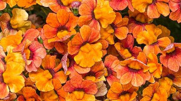 Nemesia sunsatia blood orange.jpg