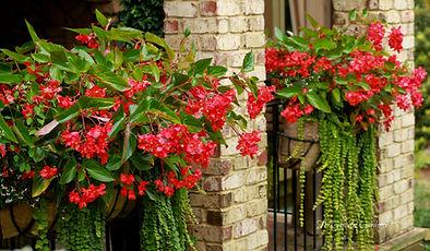 Begonia Dragon Wing.jpg