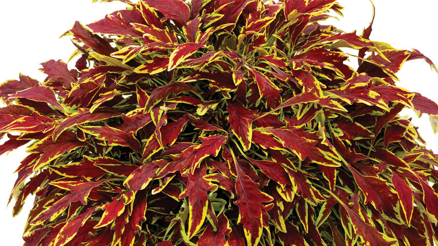 Coleus - Le Freak