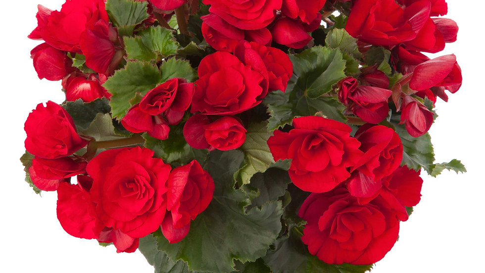 Begonia Vermillion - Red