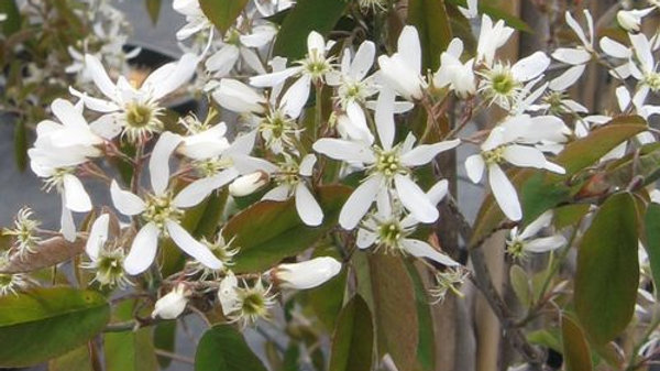 Serviceberry - Autumn Brilliance