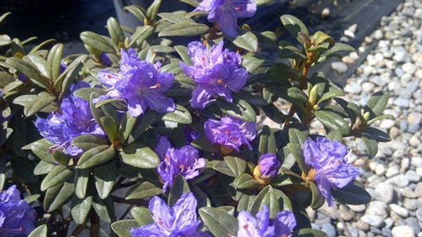 Rhododendron - Ramapo