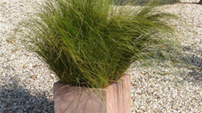 Carex - Pheonix Green