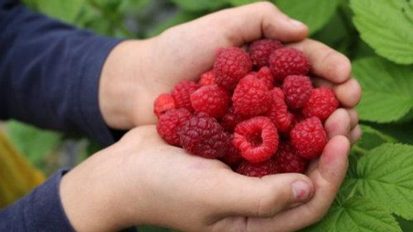 Raspberry- Autumn Bliss