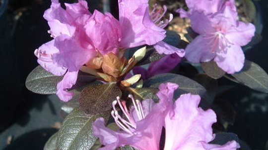 Rhododendron- P.J.M. Elite