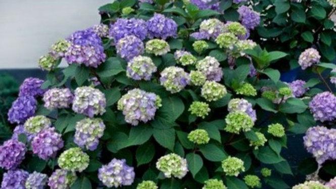 Hydrangea-Endless Summer-Bloomstruck