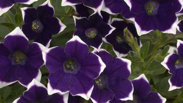 Petunia Cascadia - Rim Velvet