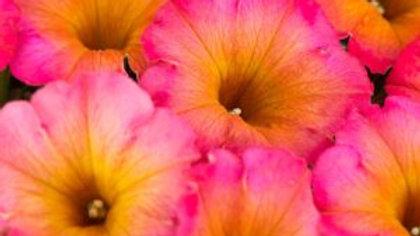 Petunia Crazytunia - Mayan Sunset