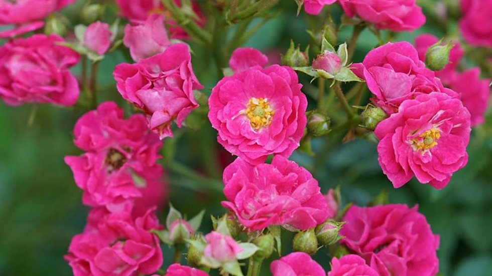 Rose - Oso Easy - Peasy