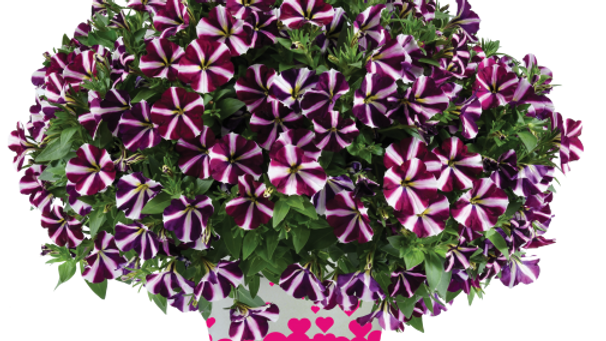 Petunia Amore - Fluttering Heart