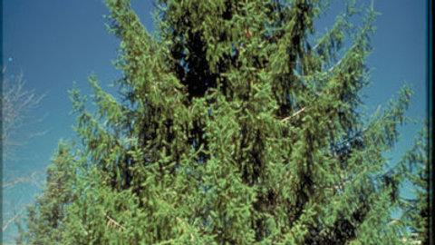 Spruce - White