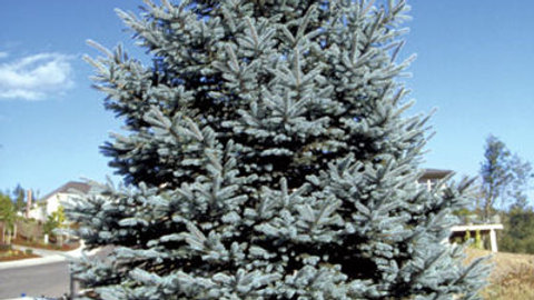 Spruce- Fat Albert