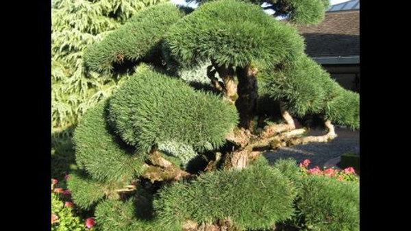 Pine - Water's Scotch Topiary