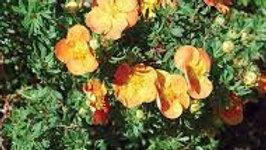 Potentilla- Marmalade