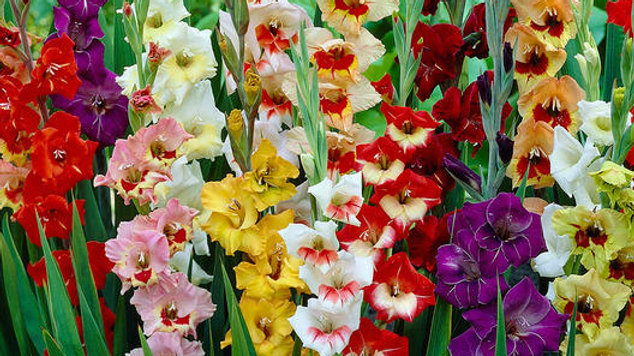 Gladiolus - Butterfly Mix