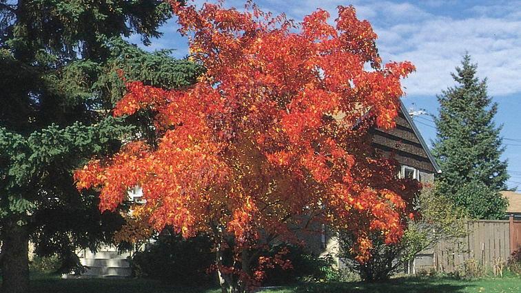 Maple- Amur