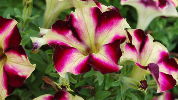 Petunia Crazytunia - Pulse