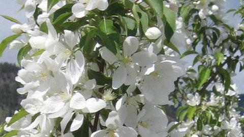 Crabapple- Spring Snow