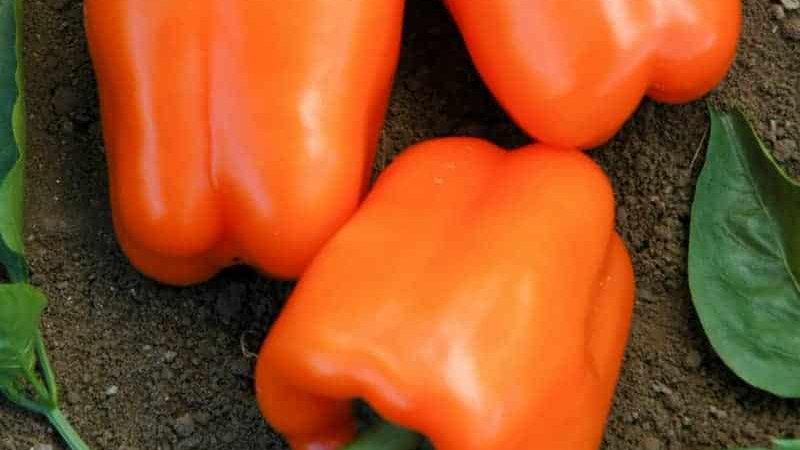 Pepper- Orange Blaze