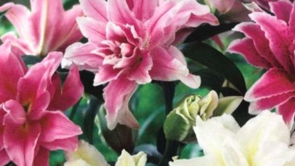 Lily - Roselily Romance Mix
