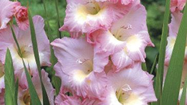 Gladiolus - Dutch - Friendship Pink