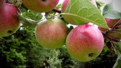 Apple- Collet