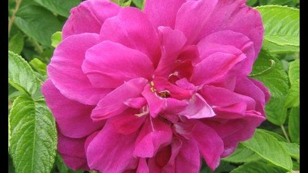 Rose - Hansa