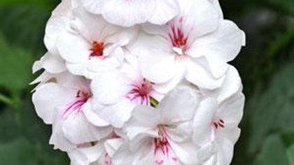Geranium - Ivy Precision White Red Eye