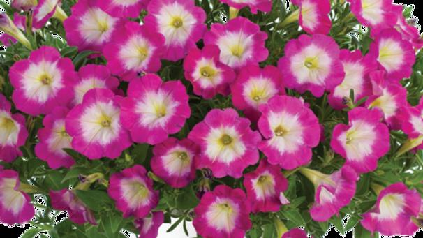 Petunia Cascadia - Hot Fantasy Pink