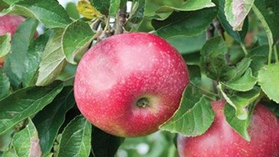 Apple- Hardi-Mac