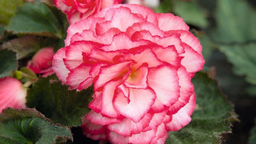 Begonia Non-Stop - Rose Petticoat
