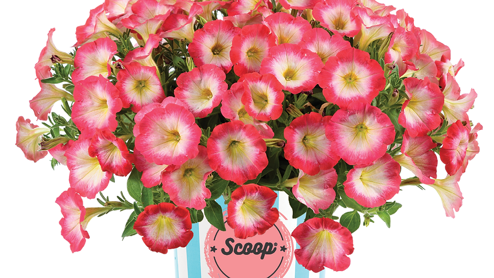 Petunia Scoop - Sweet Punch