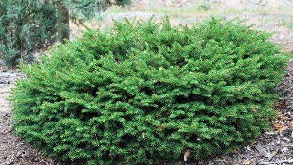 Spruce - Bird's Nest