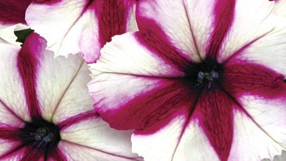 Petunia Crazytunia - Iced Berry