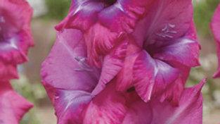 Gladiolus - Novelty Dutch - Lumiere