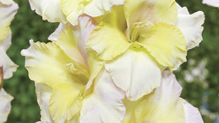 Gladiolus - Novelty Dutch - Lemonlicious