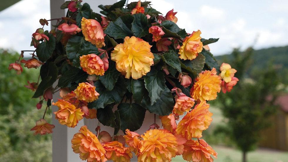 Begonia Illumination - Golden Picotee
