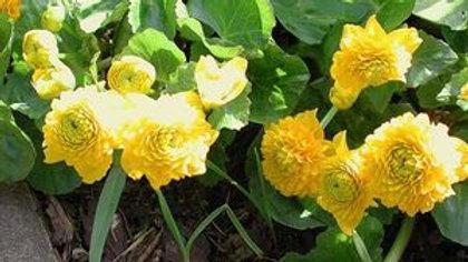 Double Marsh Marigold