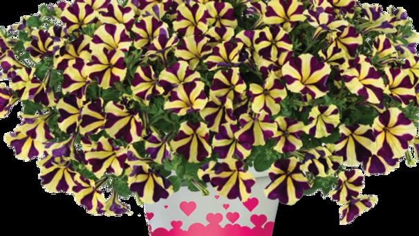 Petunia Amore - Heart & Soul