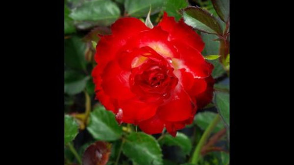 Rose - Never Alone