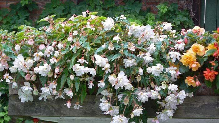 Begonia Illumination - White