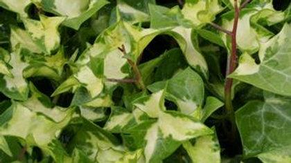 German Ivy - Variegated Wax Leaf