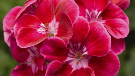 Geranium - Tango Rose Deep Eye