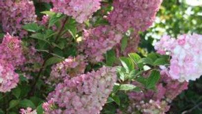 Hydrangea-Strawberry Sundae